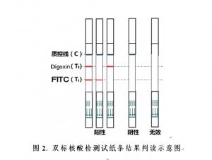 彩虹型双标核酸检测试纸条